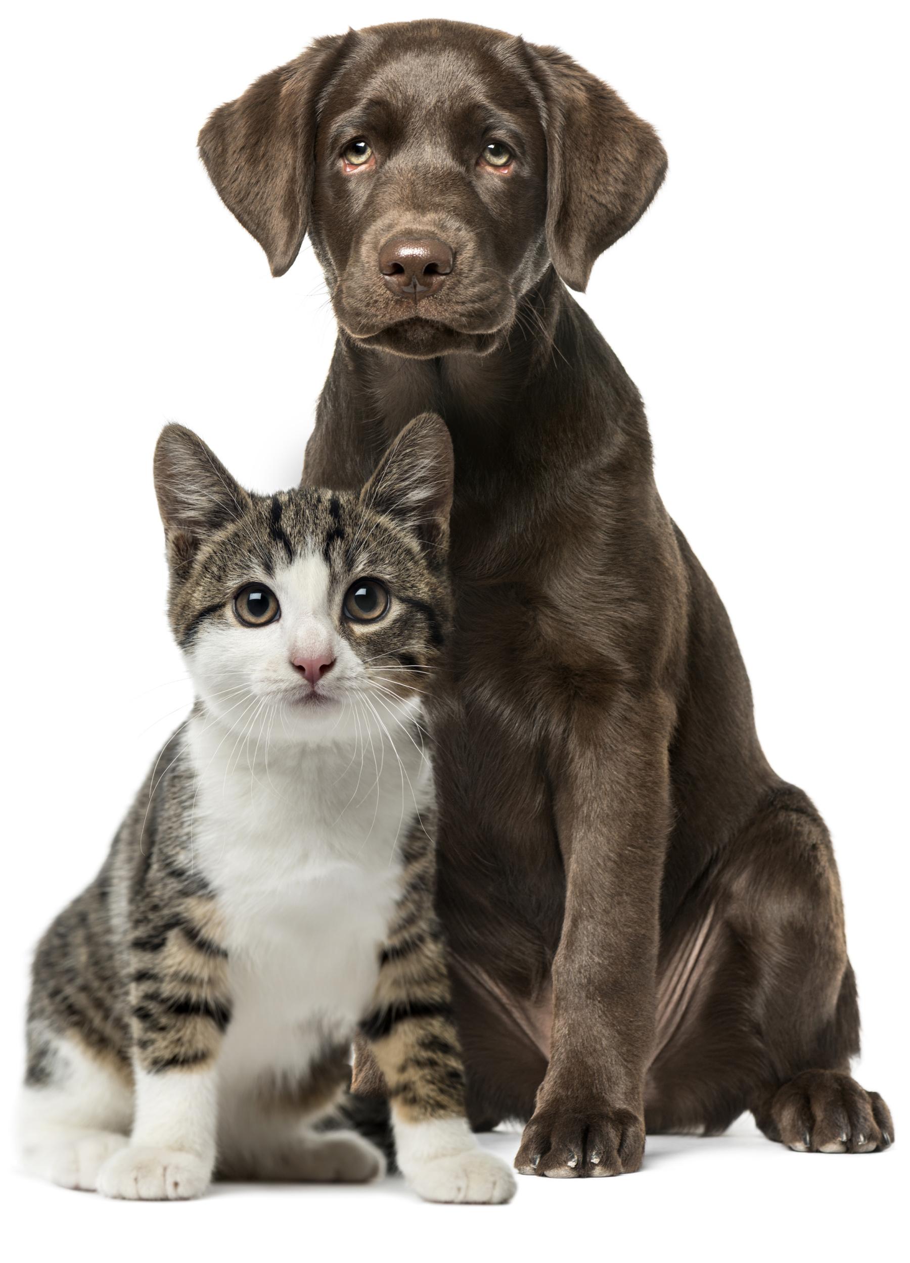 Lab dog and cat